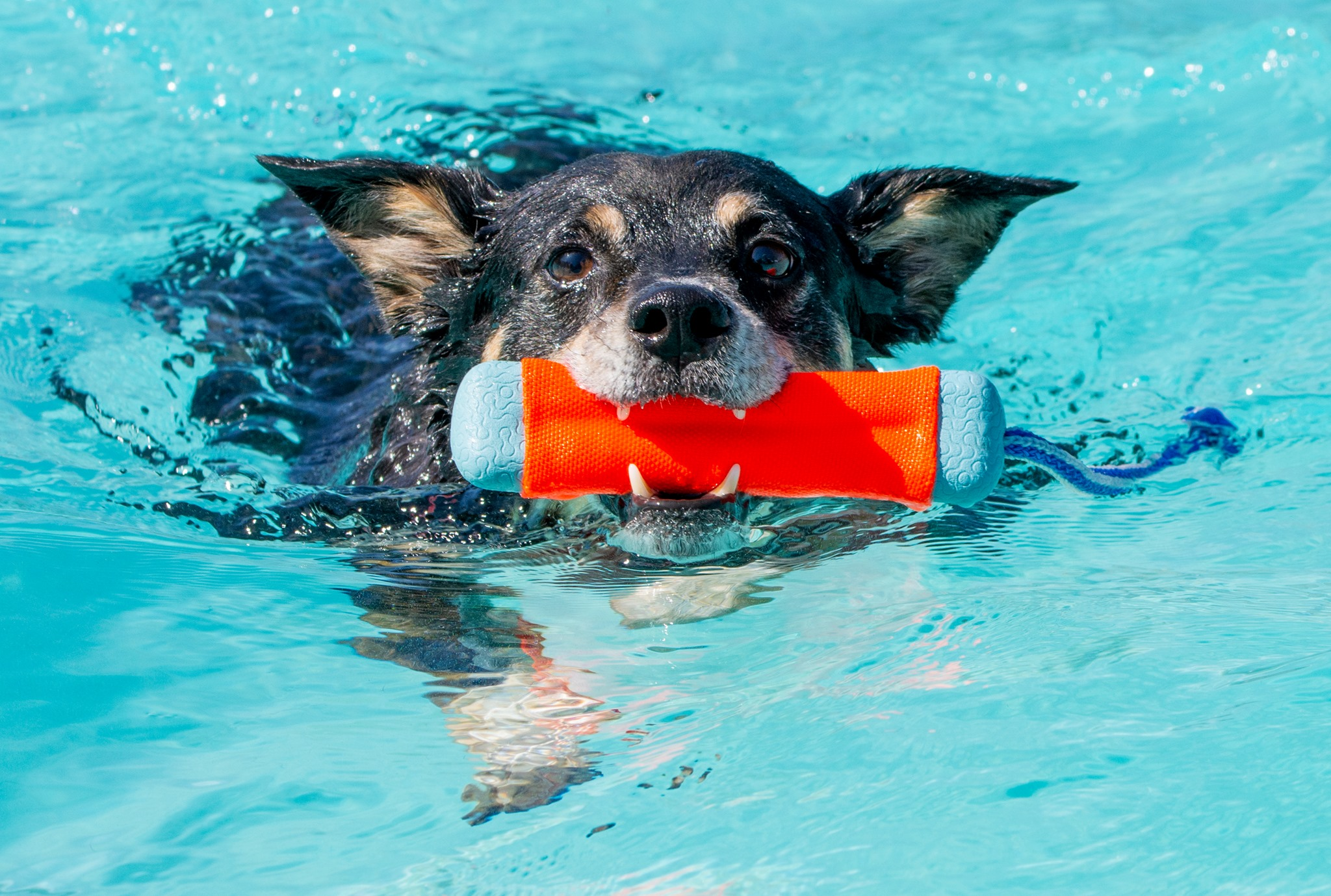 Black and brown dog in the water with orange and blue toy in its mouth